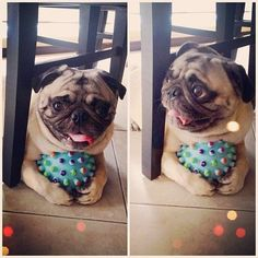 cute pug puppies 24 Dogs Who Love To Play Fetch That They Won't Even Give Up Their Ball - World's largest collection of cat memes and other animals Cute Pug Puppies, Cute Pugs, Dogs And Puppies, Doggies, Funny Pugs, Pugs And Kisses, Pug Pictures, Pug Love, Cute Creatures