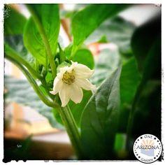 One Arizona Garden : Blooming Bell
