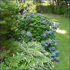 Hydrangeas Landscaping Idea. Southerners love these plants!