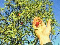 Native Herb Index : Black Olive