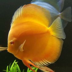 A golden Discus fish, the king of the aquarium. Diskus Aquarium, Tropical Aquarium, Tropical Fish, Tropical Freshwater Fish, Freshwater Aquarium Fish, Pretty Fish, Beautiful Fish, Acara Disco, Oscar Fish