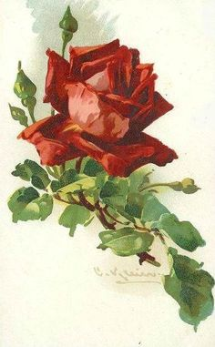 Catherine Klein ~ red rose