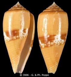 Rolaniconus coccineus  Gmelin, J.F., 1791	 Scarlet Cone	 Shell size 27 - 62 mm	 Philippines - New Caledonia