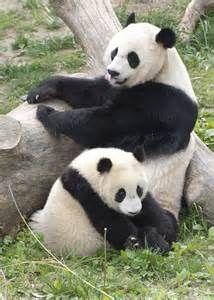 pandas - Bing Images