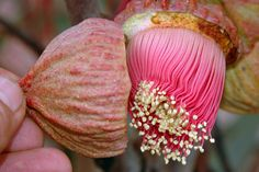 The operculum is forced off the gumnut as the flower grows to its full size