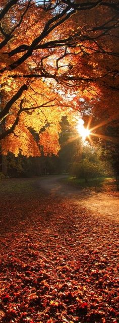 Autumn Leaves. The sun's rays spilling thru the branches.  TG
