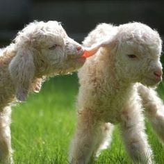 """""""I'm just pulling your ear."""" (Or biting it.) ~ Lambs"""
