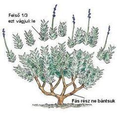 A levendula csábítása - levendula metszése - gazigazito.hu