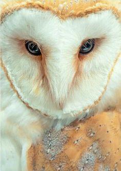 Birds of Prey - Barn Owl