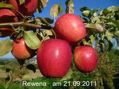 Rewena, Wirtschafts- und Mostapfel, Ernte: IX, genussreif ab: X, lagerfaehig: III-IV, robust und guter Geschmack, jaehrlich + fruchtbar