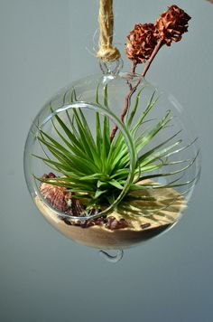 hanging air plant terrarium in glass orb with Tillandsia Stricta by Pink Serissa
