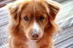nova scotia duck tolling retriever...this dog looks just like Libby :)