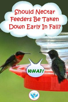 If nectar feeders are taken down early will it help Hummingbirds to migrate? Learn the right thing to do. #hummingbirdfeeders #birdwatching #WildBirdScoop #hummingbirdnectar