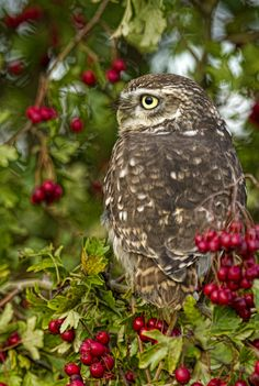 """Little Owl "" by Val Saxby 
