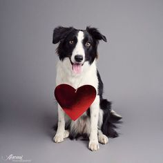 59 Best Valentine Pets Images Dog Cat Dogs Fluffy Animals