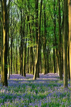 Bluebells, Hampshire | England (by Mark A Jones *)
