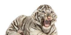 Ban the Big Cat Trade