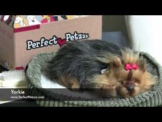 Perfect Petzzz : Yorkie - Video