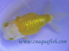 Yellow/ white lionhead ranchu love this color ♥