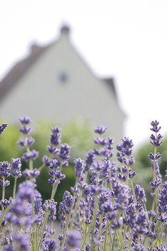 Lavender Cottage, French Lavender, Lavender Blue, Lavender Fields, Lilac, Periwinkle, Purple, Provence, Autumn Rain