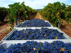 Looking for things to do in Portugal? Explore the must-dos and hidden gems on Viator and easily book Portugal tours, attractions, and experiences you'll never forget. Algarve, Wine Bottle Design, Portugal Travel, Portugal Trip, Wine Vineyards, Cabernet Sauvignon, Pinot Noir, Sardinia, Day Tours