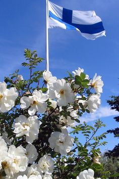 Midsummerrose blooming in Finnish Midsummer /Juhannus day Meanwhile In Finland, Finland Culture, Finland Travel, Scandinavian Countries, National Holidays, Summer Solstice, Summer Time, Alaska, Norway