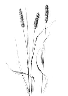 Set 4 spikelet sketches Hygge Botanical Art Print home decor clipart one line drawing grass artwork wild herb black white plant Plant Sketches, Drawing Sketches, Art Drawings, Dress Sketches, Drawing Drawing, Pattern Drawing, Drawing Tips, Botanical Drawings, Botanical Art