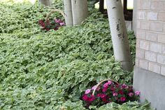 nestling baskets of impatiens in w/ bishop's weed for spots of color during the summer