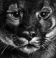 Cougar face scratchboard by thornwolf