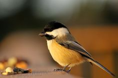 Shamik Photography ~ Devoted to the Natural Elements: Chickadee-dee-dee-dee