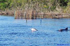 Golfinhos em Cananeia