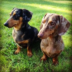 Silver Dapple and Red Dapple Dachshunds! Dash and Flash :)