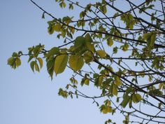Light and shade on the new leaves of the Golden Elm at dusk.