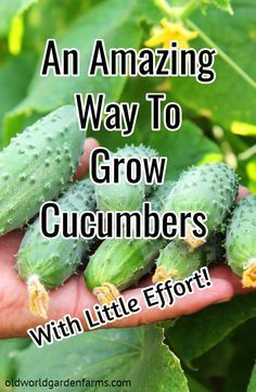 You have to check out an amazing way to grow cucumbers with very little effort. #cucumbers #organicgarden #gardening #strawbalegarden #cucumberplants #vegetablegarden #oldworldgardenfarms