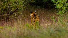 "Listening to the jungle - A tiger was eyeing nearby spotted deer that fled with alarm calls. The ""eyes"" at the back of the tigers ears make a interesting picture."