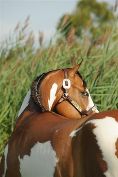 This handsome Paint Horse is but one of the Paint Horse Journal's beautiful photography subjects.  Reminds me of my horse...miss ya Tango!!