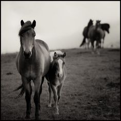 by Rebekka Guðleifsdóttir, via Flickr // Horses in te central west coast of Iceland / BW Icelandic foal