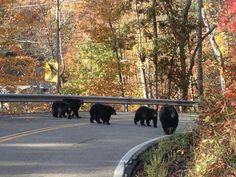 Fall an bears in east Tn