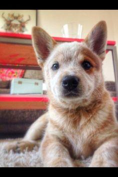 ACD puppy.. Aussie Cattle Dog, Austrailian Cattle Dog, Cattle Dogs, Puppies And Kitties, Cute Puppies, Pet Dogs, Puppies Gif, Doggies, Cute Little Animals