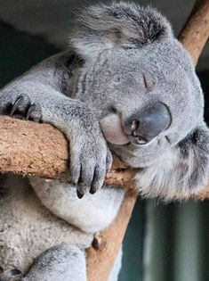 Rockabye baby on the tree top - Koala Funny - Rockabye baby on the tree top Koala Funny Rockabye baby on the tree top The post Rockabye baby on the tree top appeared first on Gag Dad. The post Rockabye baby on the tree top appeared first on Gag Dad. Nature Animals, Animals And Pets, Funny Animals, Wild Animals, Farm Animals, Funny Koala, Photo Chat, Tier Fotos, Cute Little Animals