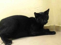 TO BE DESTROYED 10/27/14 ** ADORABLE 9 MONTH OLD! Shadow was displaying friendly behavior; interacts with the Assessor, solicits attention, is easy to handle and tolerates all petting. ** Brooklyn Center  My name is SHADOW. My Animal ID # is A1015942. I am a male black and white domestic sh mix. The shelter thinks I am about 9 MONTHS old.  I came in as a STRAY on 10/01/2014 from NY 10455, Group/Litter #K14-196418.