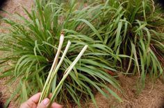 If you like Asian cuisine - Thai, Vietnamese, Chinese or Indian - you are already familiar with the aromatic herb, lemongrass. It has been used in cooking