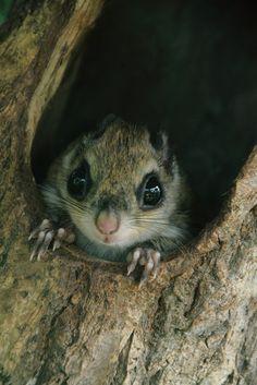 Nihon Momonga/Japanese Dwarf Flying Squirrel