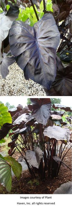 "Black Coral Giant Elephant Ears Colocasia 'Black Coral' PPAF Tightly clump forming, not invasive, cold hardy perennial with a great tropical effect in the garden or in containers. Large 3'+, almost heart-shaped,glossy dark black tropical foliage sits atop black stems. Prefers moist soils but can be submerged up to 2""deep."