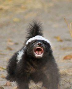 Nature Animals, Animals And Pets, Baby Animals, Funny Animals, Cute Animals, Beautiful Creatures, Animals Beautiful, Carnivore, Honey Badger