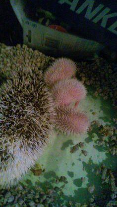 Babies hedgehogs one week old