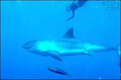 nager avec un requin, publiée le 23 Août 2013