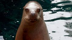 Visit a rarely seen behind-the-scenes sea lion habitat and get the chance to experience a training session up close with Steller sea lions. Vancouver Aquarium, Animal Makeup, Sea Lions, Sea Otter, Honeymoon Ideas, Otters, Sea Creatures, Arctic, Mammals