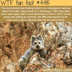 Ili Pika, the bunny/teddy looking hybrid -   WTF fun facts