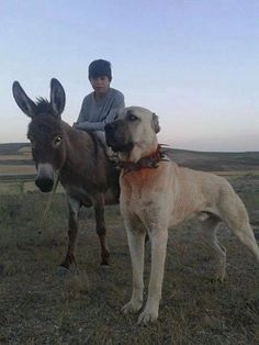 kangal dog - Google Search